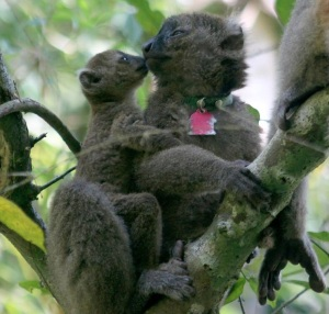 Credit to the Madagascar Biodiversity Partnership for this photo.